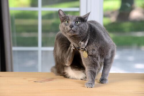 Come posso sapere se il mio gatto è allergico?