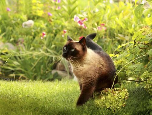 Le principali caratteristiche del gatto siamese