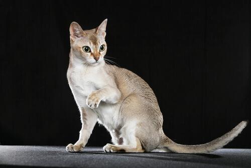 gatto-singapura-2