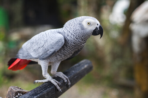 pappagallo grigio africano 2