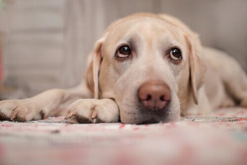 Sintomi di malattie cardiache nei cani