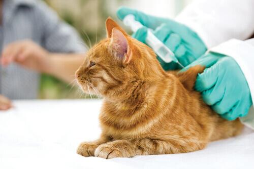 gatto arancione dal veterinario