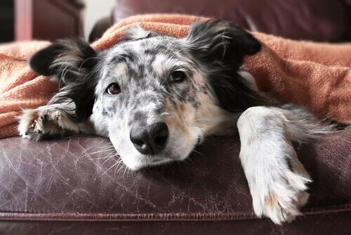 Guida per la vecchiaia dei cani