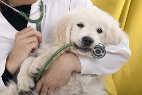 veterianaria e cane