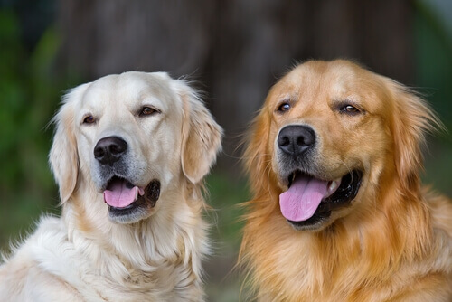 Ragioni per cui adottare un cane adulto