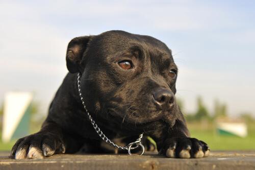 american-pitbull-terrier-nero