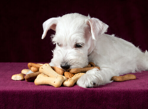 cane bianco mangia biscotti
