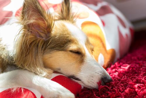 cane-addormentato