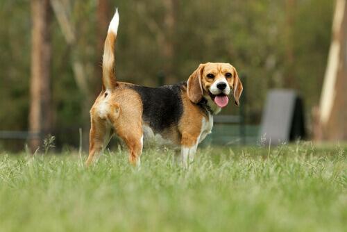 cane-beagle