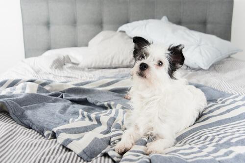 cane bianco sul letto