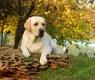 cane-labrador-parco