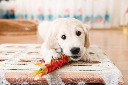 cucciolo di golden retriever morde giocattolo
