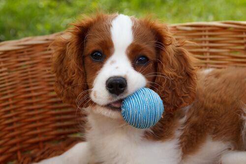 Cane con pallina nella cesta