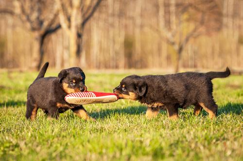 cuccioli giocando