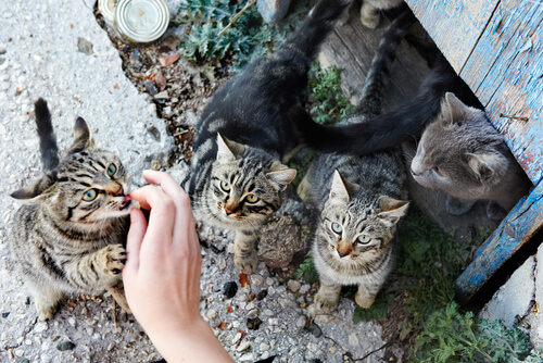 gattini 2