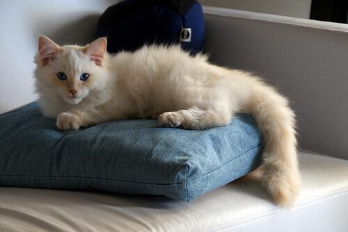 Interpretare i movimenti della coda dei gatti