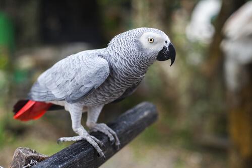 pappagallo-grigio-africano-2
