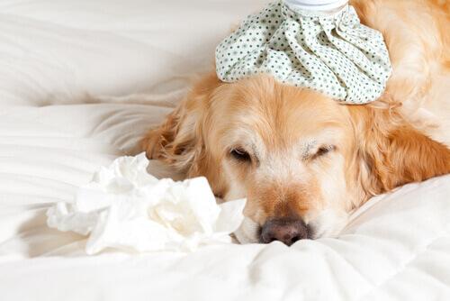 Come prevenire e trattare il raffreddore nei cani