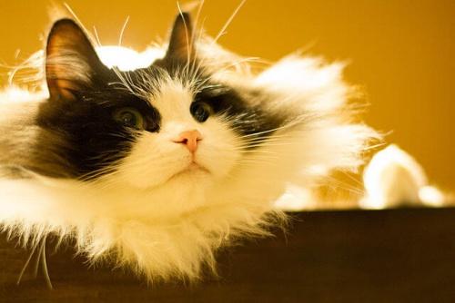 Il Ragamuffin, un gatto affettuosissimo ed enorme