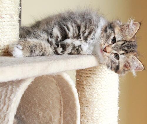 tiragraffio-gatto