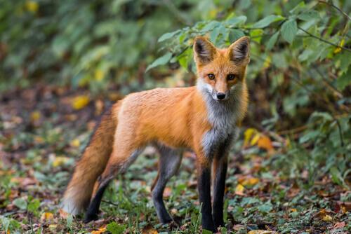 È possibile avere una volpe come animale da compagnia?