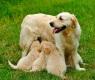 cagna-con-cuccioli