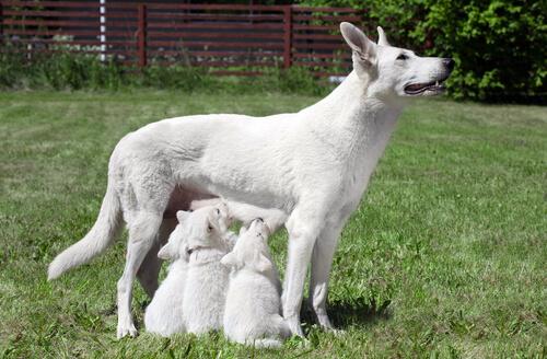 cagna-cuccioli