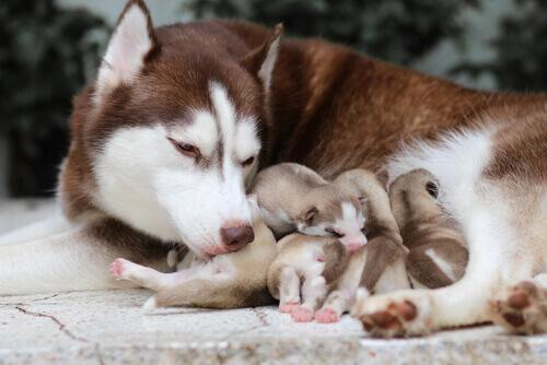 Cagnolina sotterra i propri cuccioli per salvarli