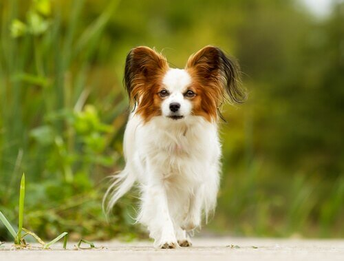 Trattamento per cani anziani di piccola taglia