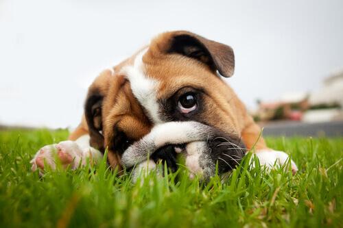 Perché il cane inclina la testa quando gli parlate?