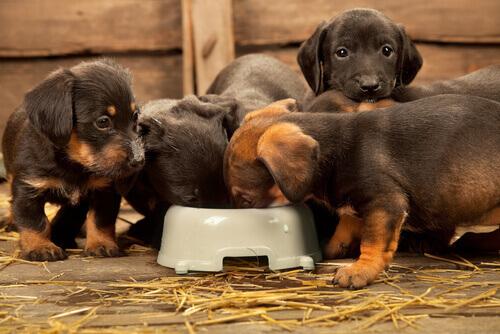 cuccioli-mangiando