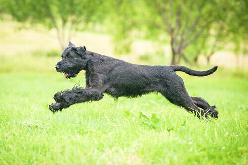 Consigli per chi ha un cane di razza gigante