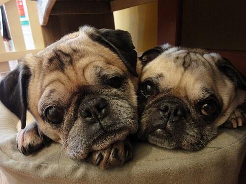 I migliori cani da appartamento u i miei animali