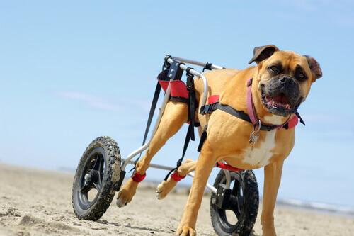 Carrellini per cani con mobilità ridotta