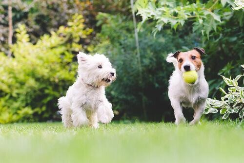 due-cani-giocando