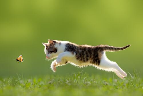 gatto-insegue-farfalla