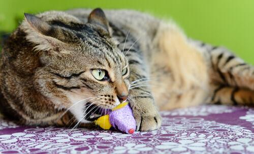 Il picacismo nei gatti