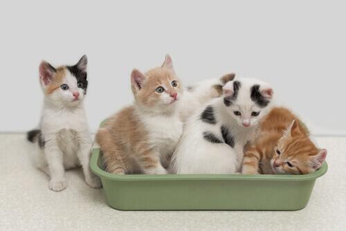 I vantaggi della sabbia biodegradabile per gatti