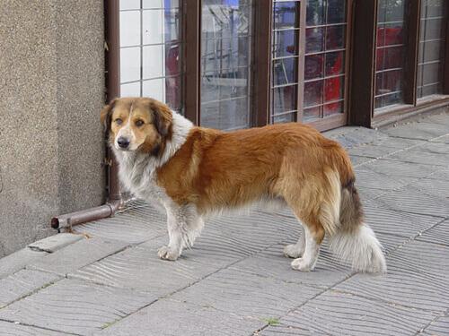 Una cagnolina dispersa percorre più di 50 km per tornare a casa