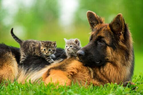 Una cagnolina adotta cuccioli di gatto
