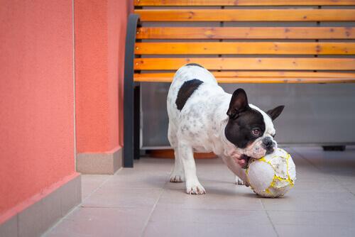 cane-giocando