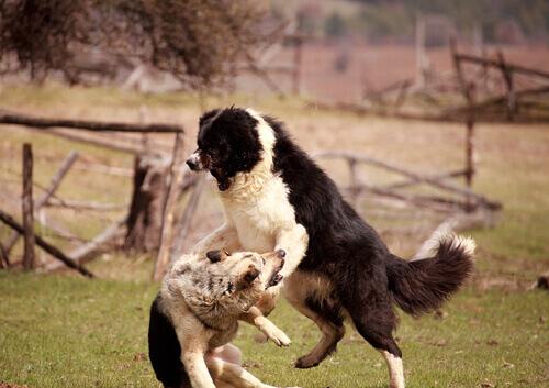 cani aggressivi litigano