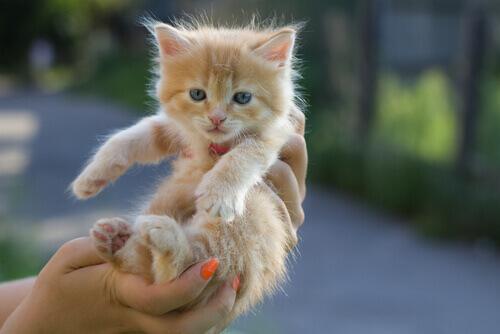 cucciolo-gatto