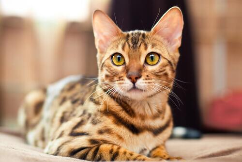 Vi presentiamo il gatto Bengala