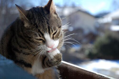 gatto-si-lecca