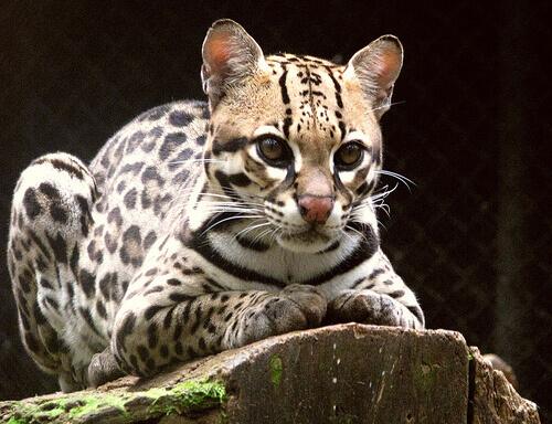 L'ocelotto: il meraviglioso giaguaro in miniatura