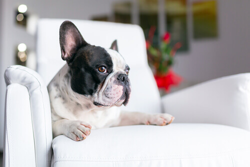 cane-divano