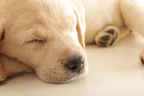 Perché i cani piangono nel sonno?