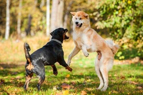 cani-attaccando