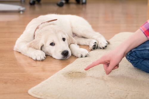 cucciolo fa la pipì sul tappeto